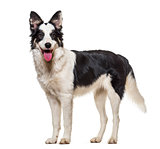 Border Collie panting against white background