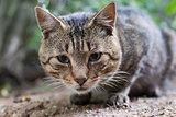 tabby cat looking