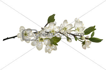 Blossoming cherry branch with white flowers.