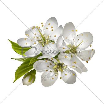 Beautiful tender cherry flowers.