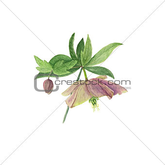 Watercolor botanical illustration of hellebore flower and bud isolated on white background