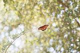 Canopy Butterfly 1