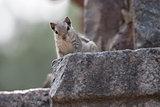 Lodhi Squirrel