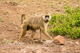 Four-legged baboon in savannah at Amboseli Park in northwestern