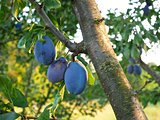 Big ripe plum fruits on a branch