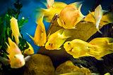 Parrot Cichlid fish in aquarium