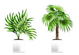 Two green palms in the white pots isolated on white. Element of home decor. The symbol of growth and ecology.