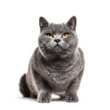 Grey british shorthair cat, isolated on white