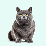 Grey british shorthair cat, blue background