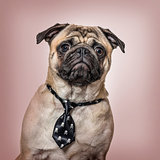 Pug wearing tie sitting against brown background