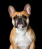 French Bulldog in portrait against black background