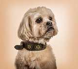 Shih Tzu in collar looking away against beige background