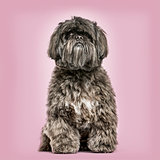 Shih Tzu sitting against pink background