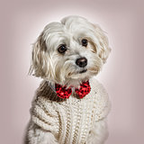 Maltese dog in bow tie and sweater against beige background