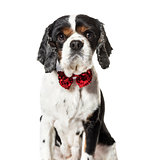 Mixed breed dog in red bow tie against white background