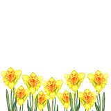 Greeting card. Botanical watercolor illustration of yellow narcissus on white background. Could be used for web design, polygraphy or textile
