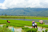 family manual labour in the Philippine rice fields