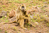 Baboon sitting on a stone cleaning his teeth in the savannah amb