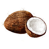 Coconut on white background. Watercolor illustration
