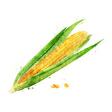 Corn on white background. Watercolor illustration