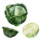 Cabbage on white background. Watercolor illustration