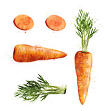 Carrot on white background. Watercolor illustration