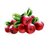 Cranberry on white background. Watercolor illustration