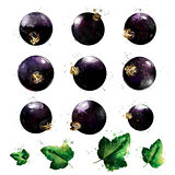 Black currant on white background. Watercolor illustration