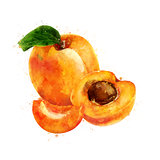 Apricot on white background. Watercolor illustration