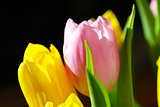 Beautiful Bouquet Pink and Yellow Tulip