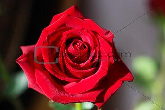 Bright Red Rose Bud