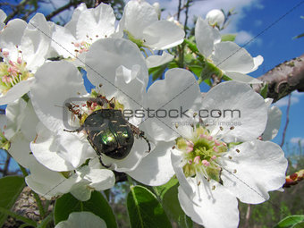 brilliant june beetle sits on a pear flower