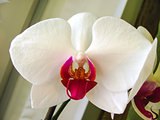 Orchid white flower close up
