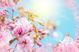 Beautiful sakura flower cherry blossom. Greeting card background template. Shallow depth. Soft toned. Spring nature