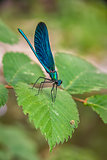 the blue dragonfly sits on a grass on a meadow