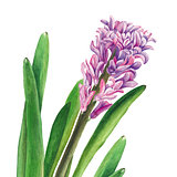 Botanical watercolor illustration of hyacinth on white background. Could be used for web design, polygraphy or textile flower