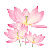 Botanical watercolor illustration of lotus flowers on white background
