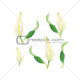 Watercolor flowers of white lily buds, bright floral elements isolated on white