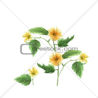 Watercolor illustration sketch of yellow kerria japonica on white background
