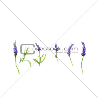 Lavender flowers in a watercolor style isolated, watercolor botanical illustration on white