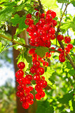 Cluster of red currant in sunbeams morning lights