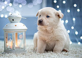 White puppy sitting next to a Christmas flashlight