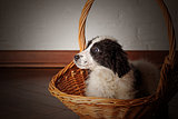 Charming little puppy sitting in the basket