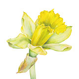 Botanical watercolor illustration of yellow narcissus on white background. Could be used for web design, polygraphy or textile