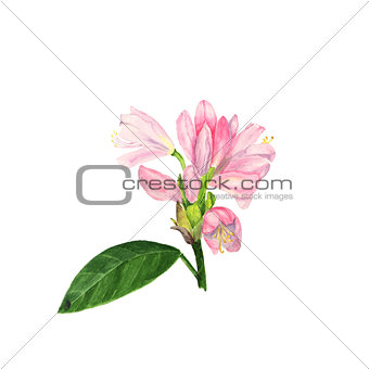 Watercolor illustration of pink rhododendron flowers and leaves on white