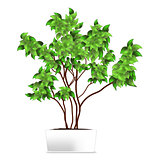 Spotted plant (ficus, pipal) in a white pot. Element of home decor. The symbol of growth and ecology.
