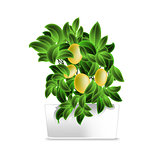 Spotted plant (lemon tree) in a white pot. Element of home decor. The symbol of growth and ecology.