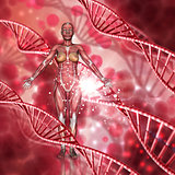 3D female medical figure with muscle map on a DNA strands backgr