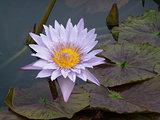 Light Purple Water Lily