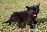 Black kitten meowing